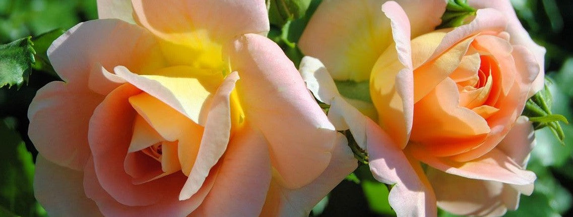 Fragrant Smooth Touch Thornless Roses