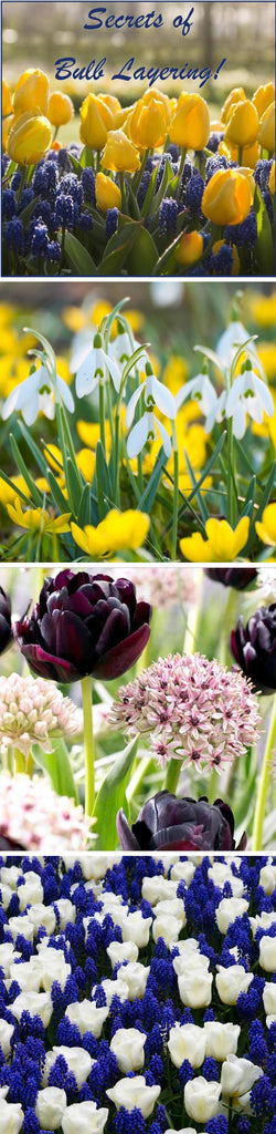 secrets of flower bulb layering for 2-4 times the blooms