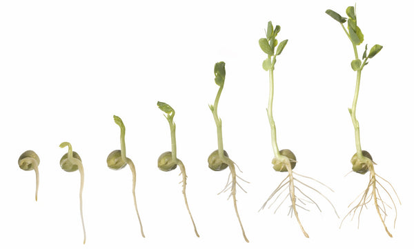seedlings develop top growth and roots in proportion