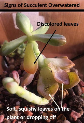 Image shows signs a succulent plant is overwatered