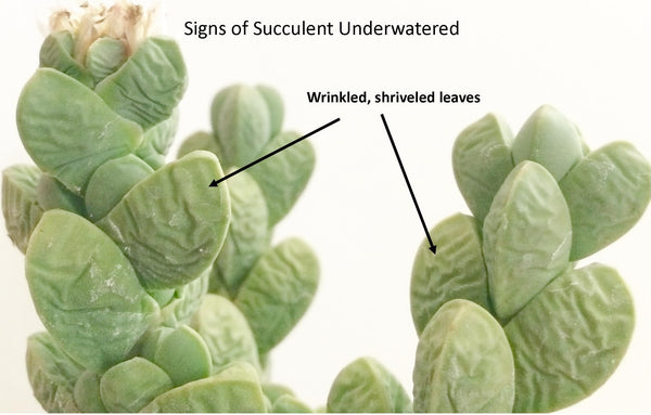 see signs that succulent plant is underwatered