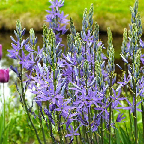 Camassia Planting Guide – Easy To Grow Bulbs