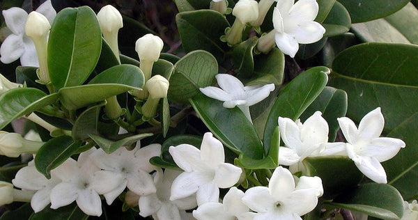 stephanotis fragrant Madagascar jasmine plant