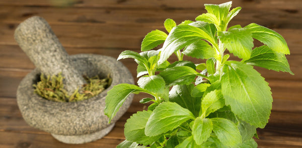 Fresh stevia plant and dried stevia in mortar and pestle