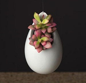 Succulent Blooming Egg with anacampseros sunrise