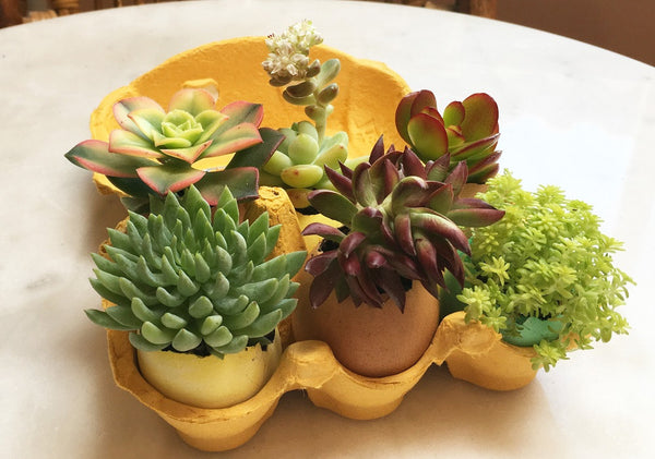 succulents in eggshells displayed in egg carton
