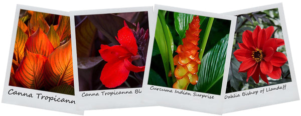Tropical garden container recipe for full sun locations canna curcuma ginger and dahlia