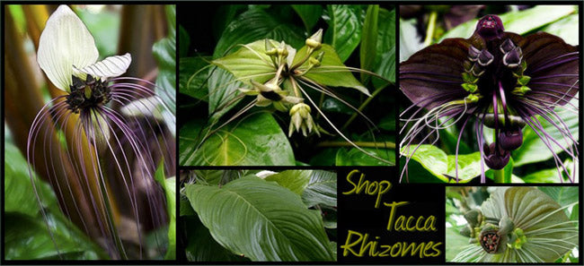 Shop All Tacca