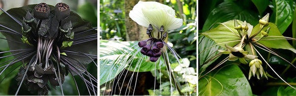 learn to grow tacca  bat flower plant