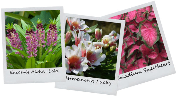 tropical container garden recipe alstroemeria eucomis caladium