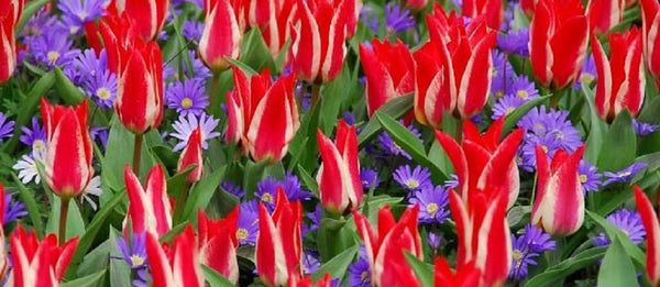 layered flower bulbs tulip Pinocchio and anemone blanda blue