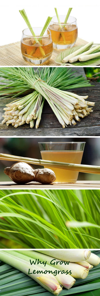 Why Grow Lemongrass - Culinary, Health and Mosquito repelling benefits