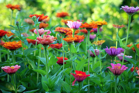 How to grow a Cutting Garden with Ranunculus – Easy To Grow