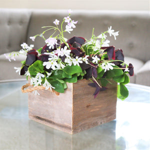 Oxalis Triangularis and Regnelli Mix in a Reclaimed Wood Cube - FREE Shipping!