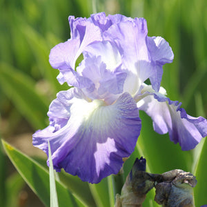 Reblooming Bearded Iris City Lights (Fragrant)