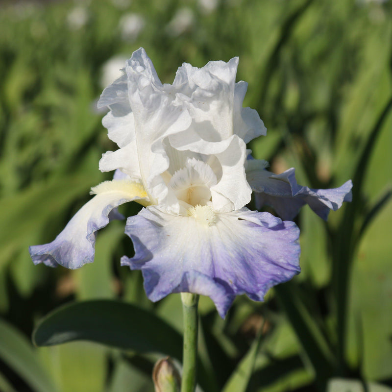Purple and White Iris Clarence Flowers