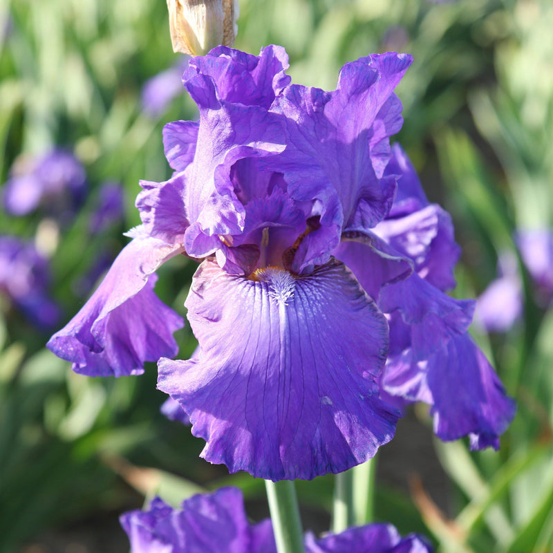 Purple Bearded Iris His Royal Highness