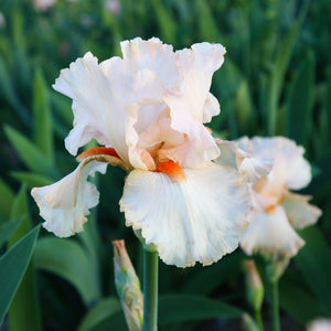 Peach Reblooming Bearded Iris Priscilla of Corinth