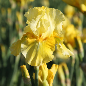 Reblooming Bearded Iris Pleasant Peasant