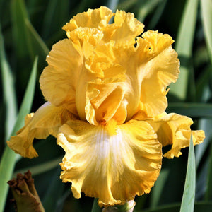 Reblooming Bearded Iris Eggnog