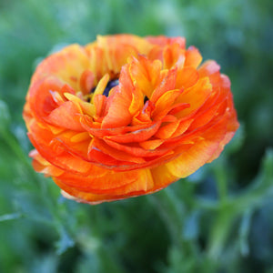 Orange Ranunculus Flamenco