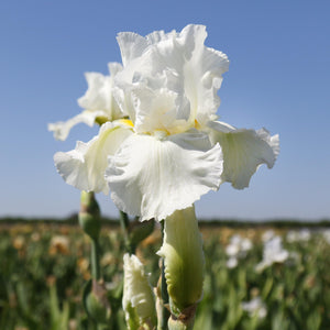 Fragrant White Reblooming Bearded Iris Renown