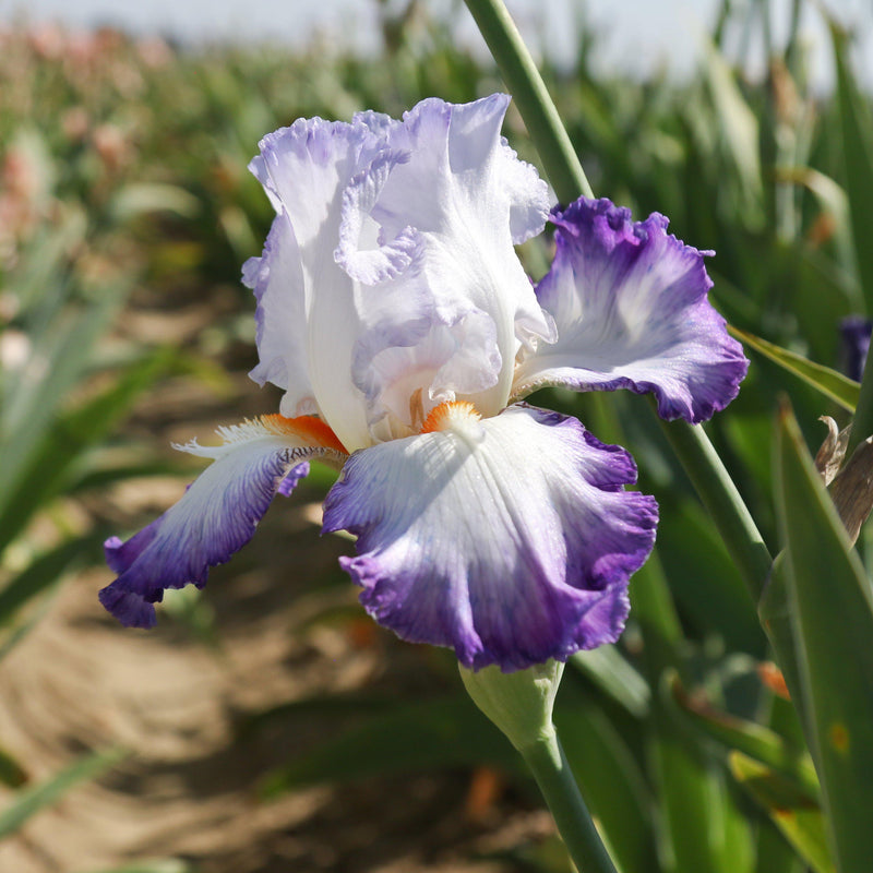 White and Purple Petals of Reblooming Iris Gypsy Lord