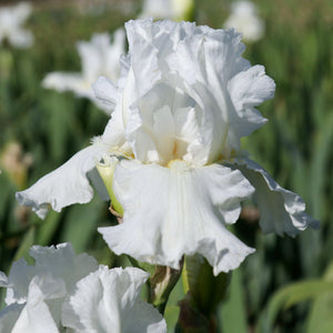 Fragrant White Bearded Iris Frequent Flyer