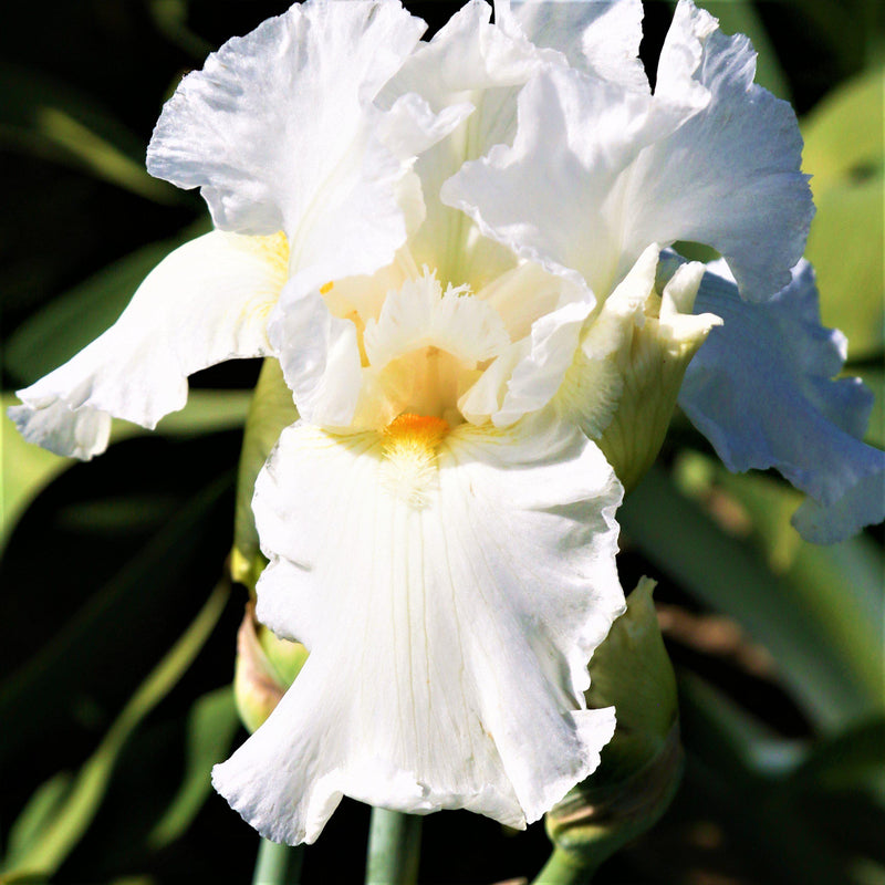 Yellow Beards of Frequent Flyer Iris
