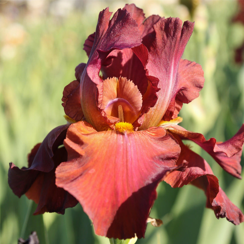 Side view of Reblooming Bearded Iris My Friend Jonathan