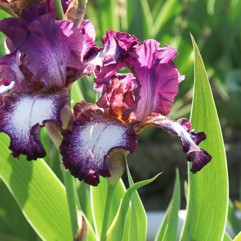 Multiple blooms of Iris Tennison Ridge