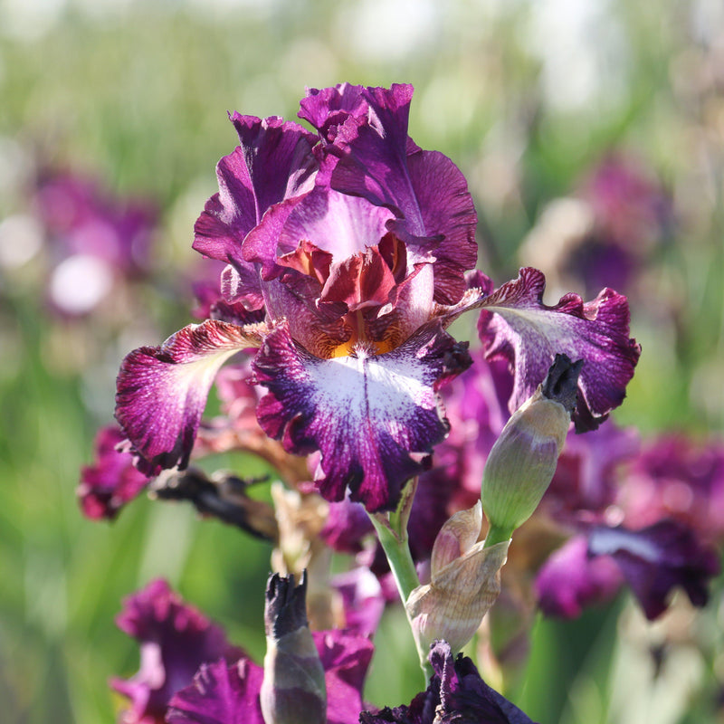 Side View of Reblooming Bearded Iris Tennison Ridge