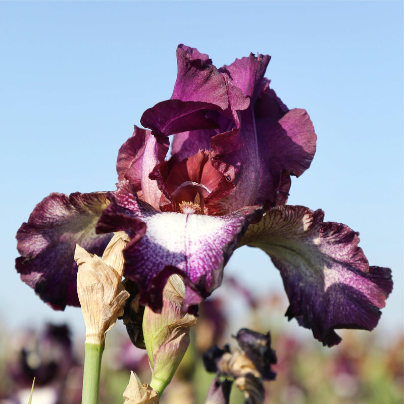 Burgundy petals of Iris Tennison Ridge