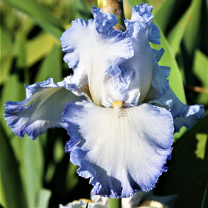 Reblooming Bearded Iris Cloud Ballet