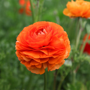 Single Tecolote Ranunculus Sunset Flower