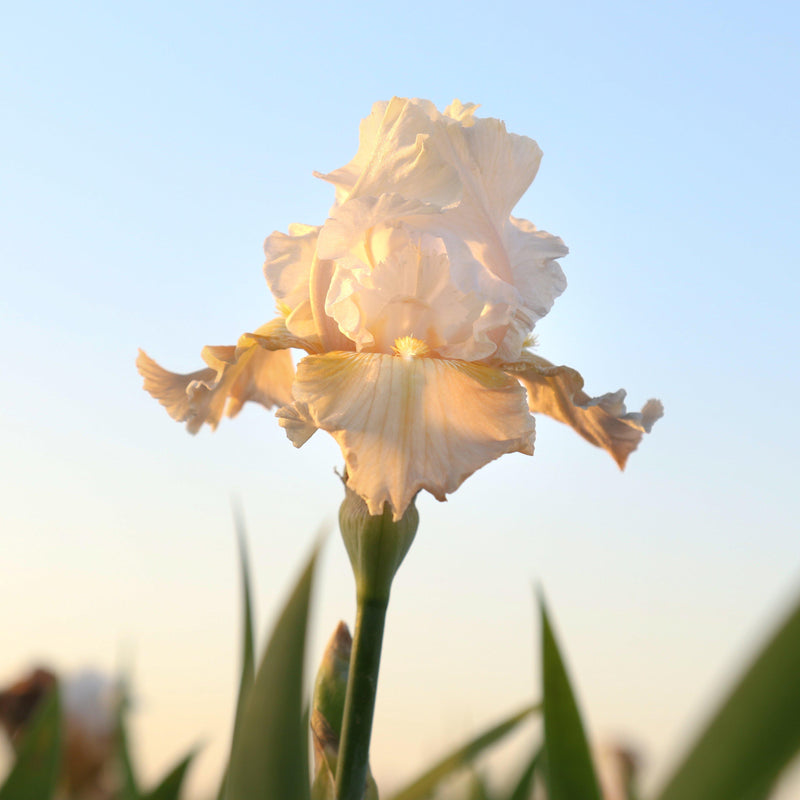 Champagne Elegance Iris at Sunset