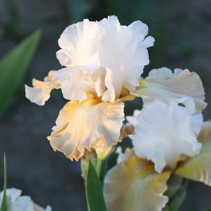 Two Champagne Elegance Iris Flowers