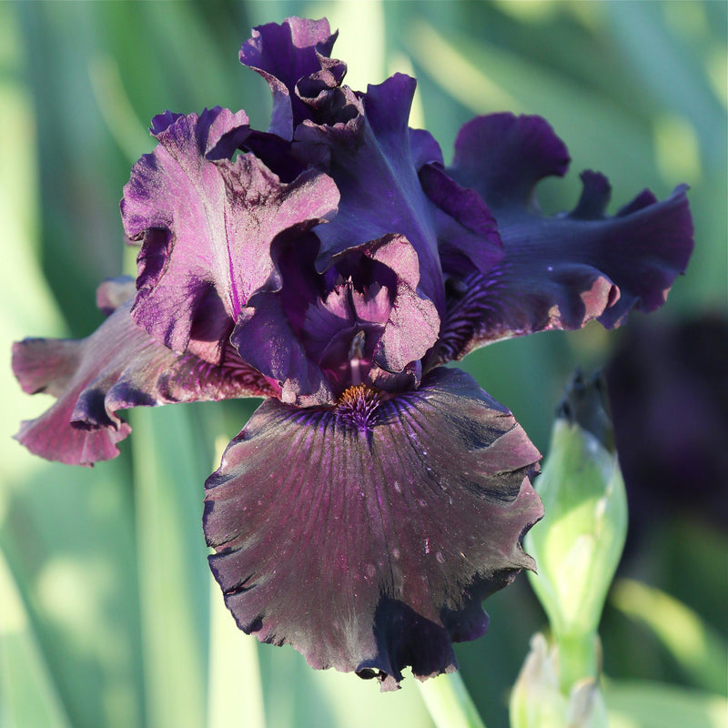 Top View of Dark Purple Ozark Rebounder Iris Flower