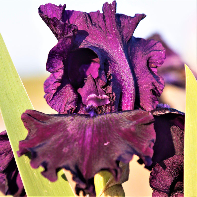 Best Dark Purple Reblooming Bearded Iris Ozark Rebounder