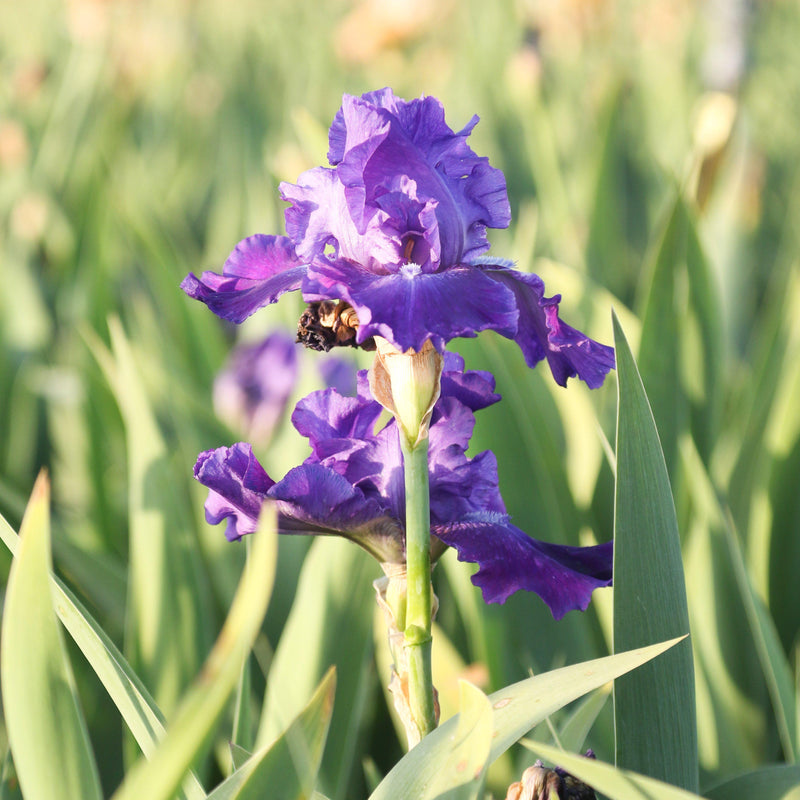 Two flowers of Purple Reblooming Bearded Iris Dashing