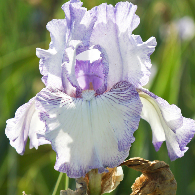 Closeup of Purple and White Reblooming Bearded Iris Earl of Essex