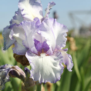 Purple and White Reblooming Bearded Iris Earl of Essex
