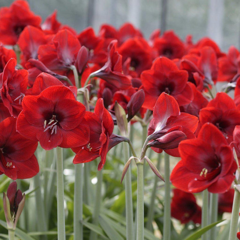 Amaryllis Ferrari Red Flowers