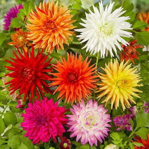 Dahlia Fringe And Quills Mix