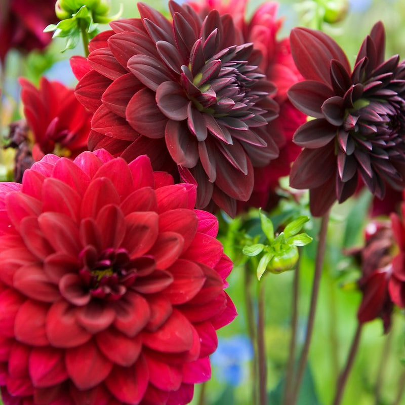 Multiple Arabian Night Dahlias in full bloom