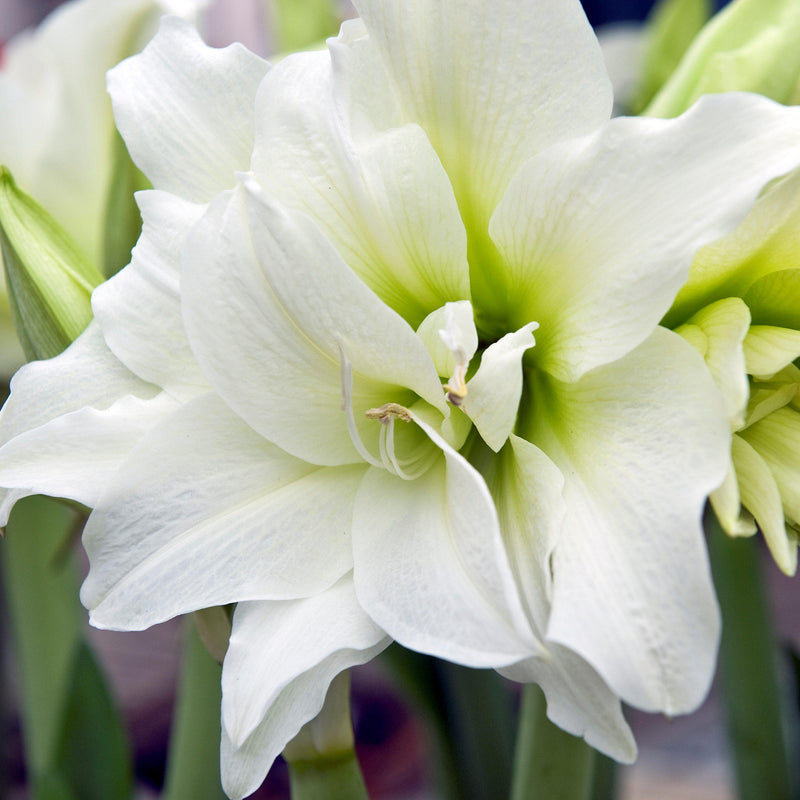 White Amaryllis Snow Drift