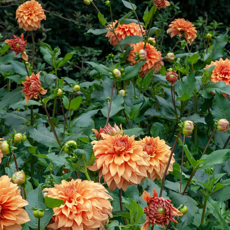 Orange Dinnerplate Dahlia flowers