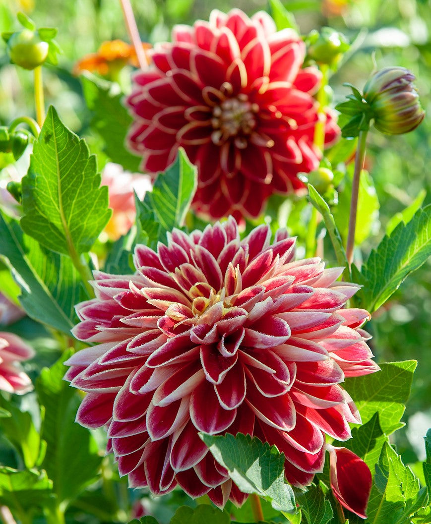 Bright Red Yellow Dahlia Bulbs For Sale Dutch Carnival Easy