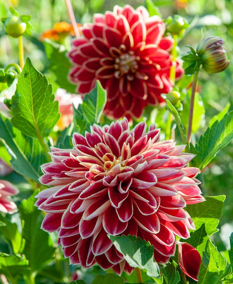 Red and yellow dahlia flowers | Dutch Carnival