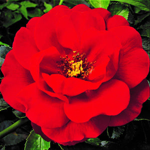 Flower Carpet Rose Scarlet